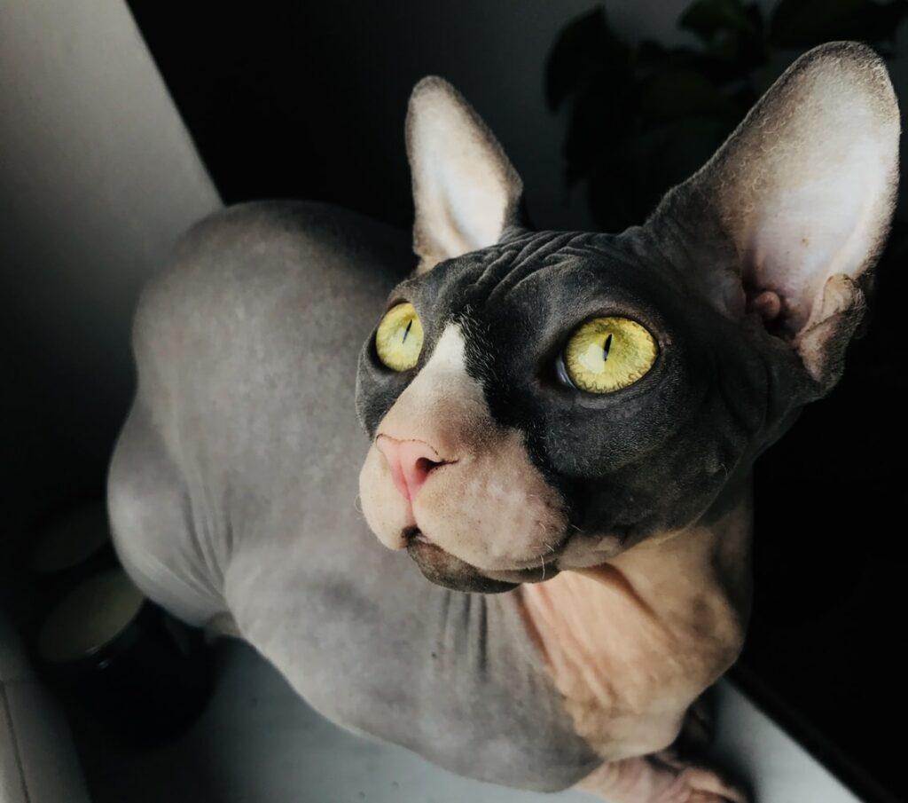 Имя для кошки сфинкса