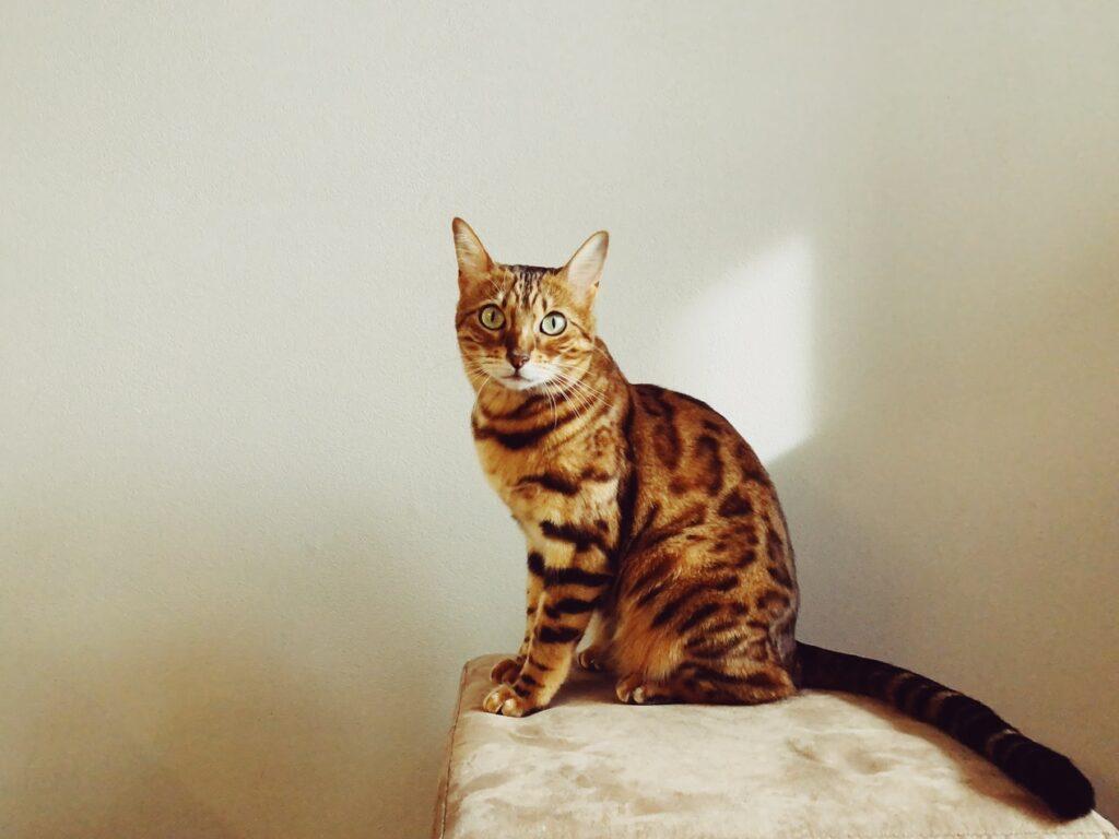 Имя для бенгальской кошки