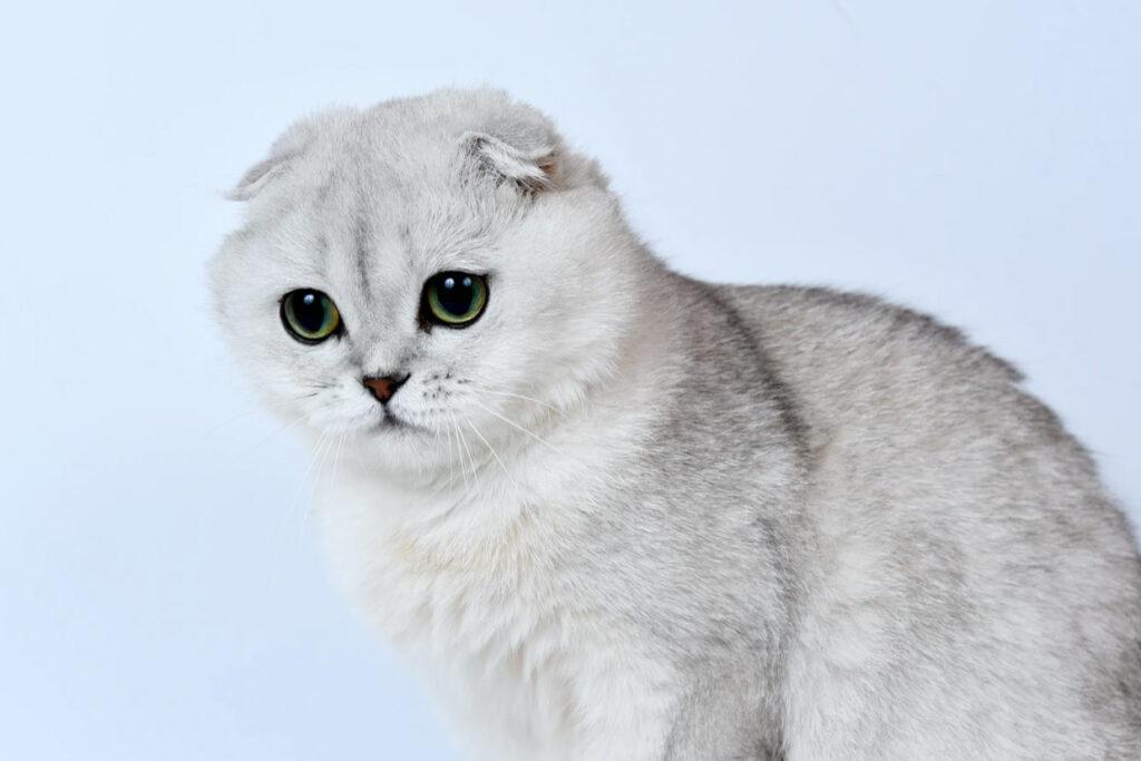 Имя для шотландской вислоухой кошки