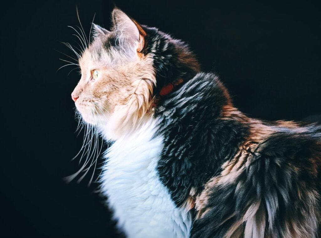 Имя для трехцветной кошки